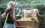 don't turn your back on a tiger while working.jpg (68367 bytes)