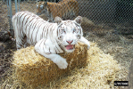 sierra helps with her strawing her cage.jpg (88359 bytes)