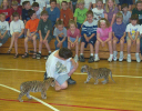 tiger kittens at swhs.jpg (82634 bytes)